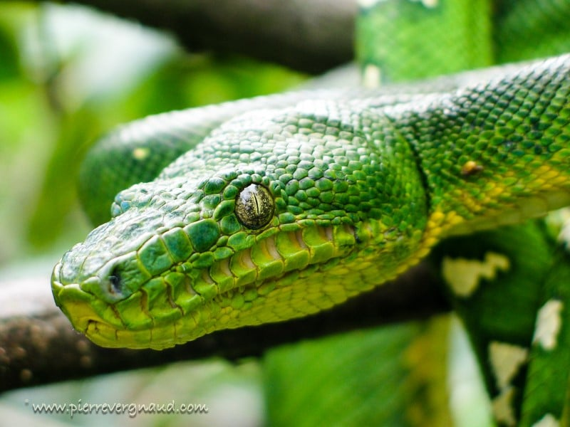 comment photographier serpents et reptiles-2