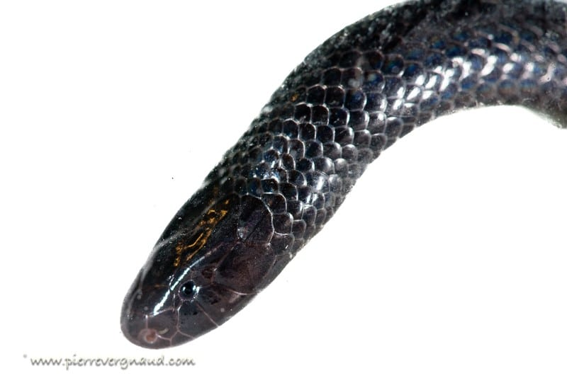 comment photographier serpents et reptiles-atractaspis