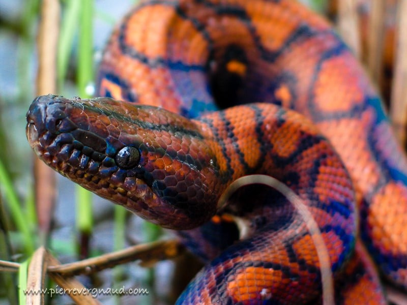 comment photographier serpents et reptiles-boa arc en ciel