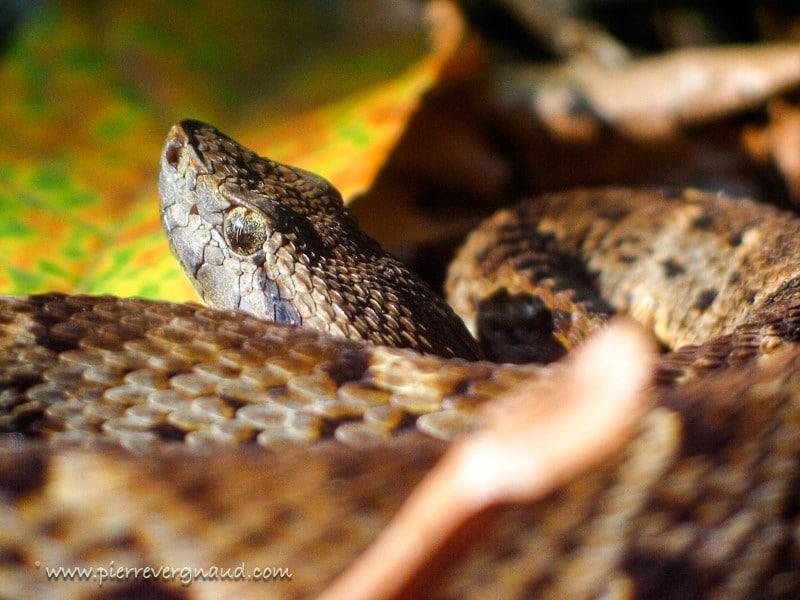 comment photographier serpents et reptiles-botrox-atrox