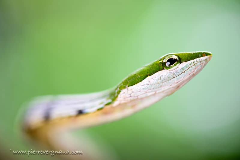 comment photographier serpents et reptiles-couleuvre africaine