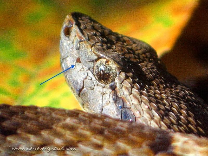comment photographier serpents et reptiles-fossette apicale Botrox atrox