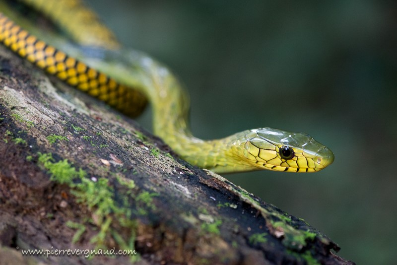 comment photographier serpents et reptiles-mamba vert