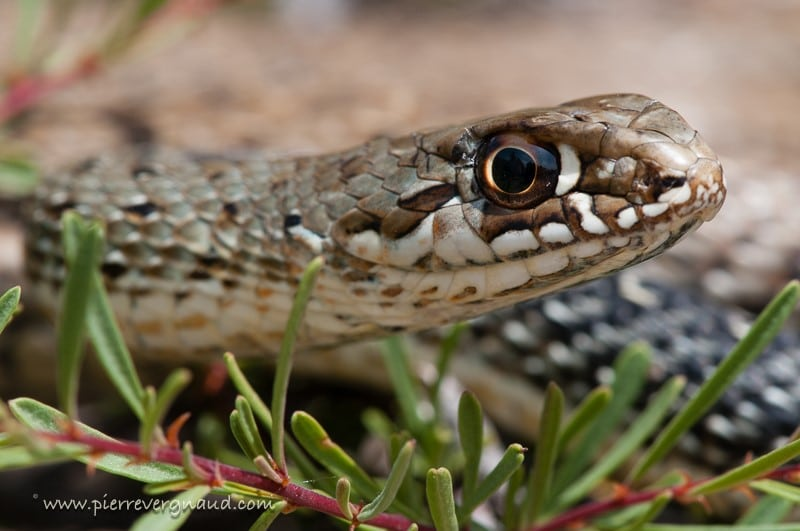 comment photographier serpents et reptiles-opysthoglyphe