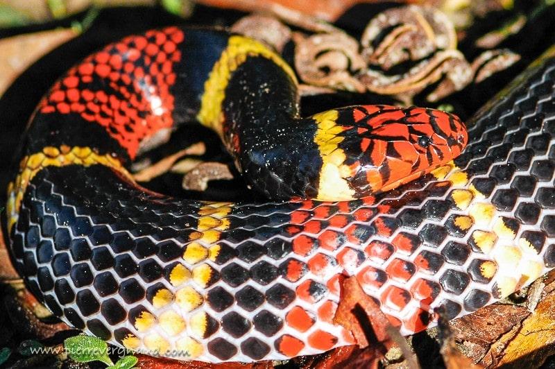 comment photographier serpents et reptiles-serpent-corail