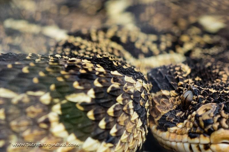 comment photographier serpents et reptiles-vipere heurtante