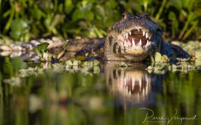 Photographier les caïmans du Pantanal